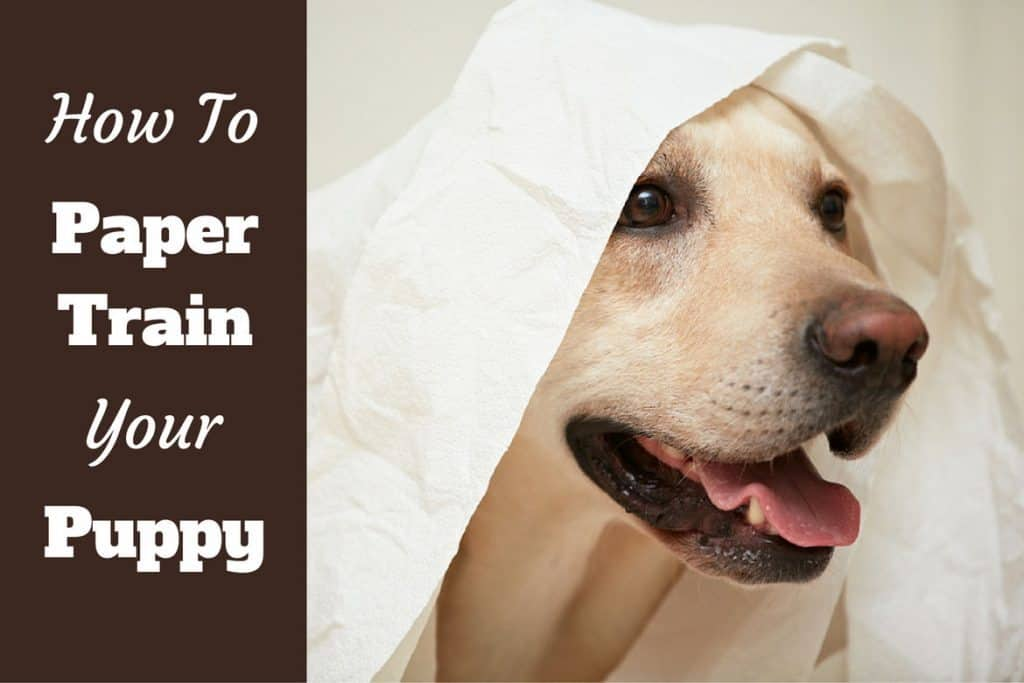 How To Paper Train A Puppy Or Dog In 6 Easy Steps