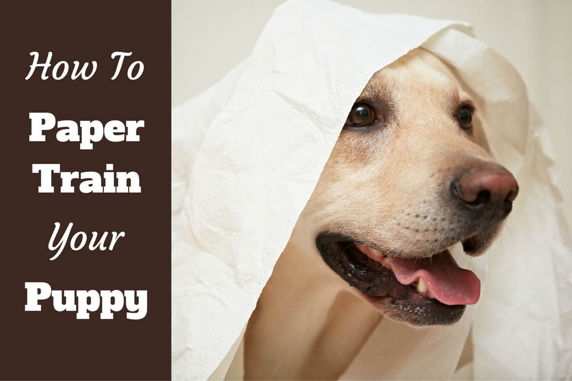 How to paper train a puppy - a Labrador playing with loo paper