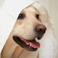 A Labrador wearing some loo paper over the head