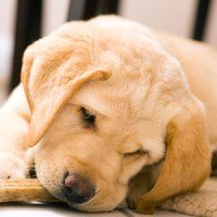 A close up of a yellow lab puppy chewing on a dog biscuit