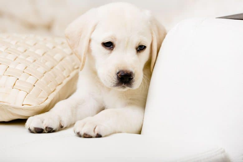 Close up of white Labrador puppy lying on a white leather sofa