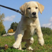 Yellow lab puppy pulling on the leash toward camera