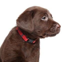 Side view of choc lab puppy in a red collar