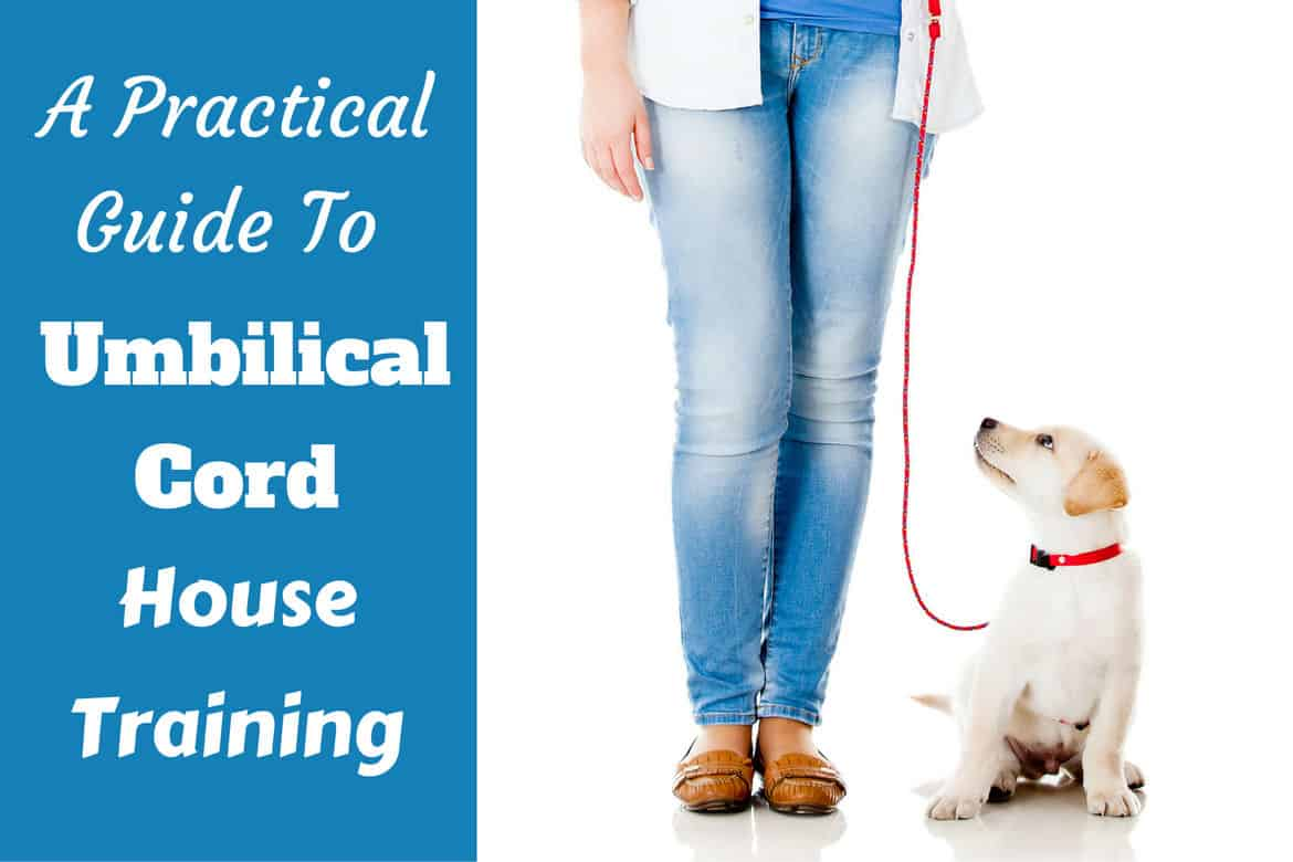 Umbilical cord house training - lab puppy on leash next to girl on white background