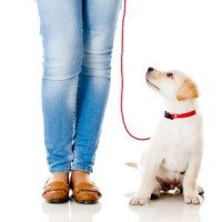 lab puppy on leash attached to trainer on white background