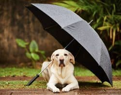 Yellow Labrador under black umbrella in the rain