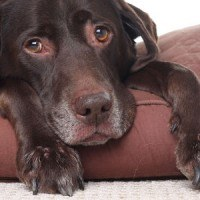 An old cho labrador looking sad lying on a brown bed