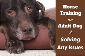 House training an adult dog: An elderly choc Lab lying on a bed