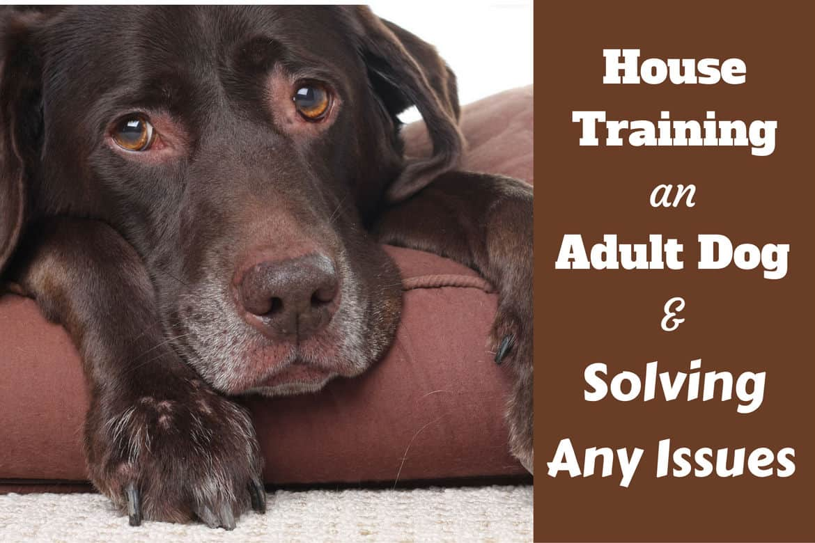 house training an adult dog - solving common issues