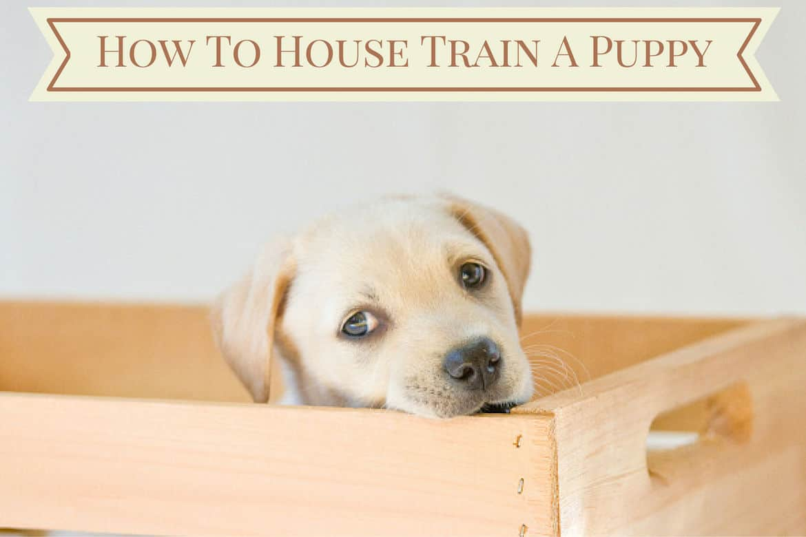 how to house train a puppy - follow these steps
