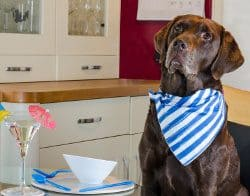 Chocolate Labrador in ktichen wearing serviette waiting for food