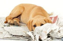 A Labrador puppy on a pile of newspapers, face hidden