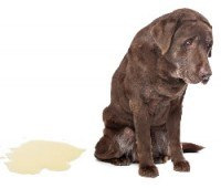 An elderly choc lab looking sad next to a puddle of wee