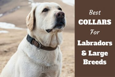 Best collars for labs and large dogs written beside a sitting lab with nice collar