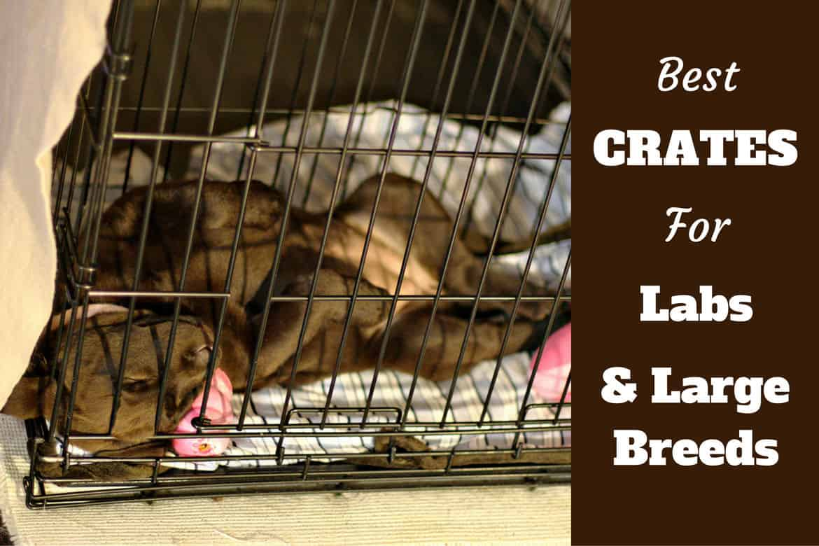 Best crates for labs written beside a lab puppy sleeping in crate
