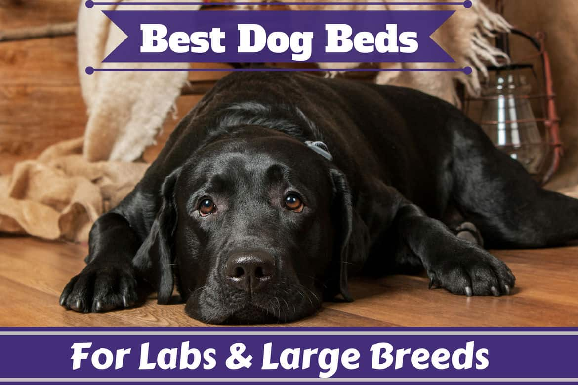 Best dog beds for labs and large breeds written around a lying black lab