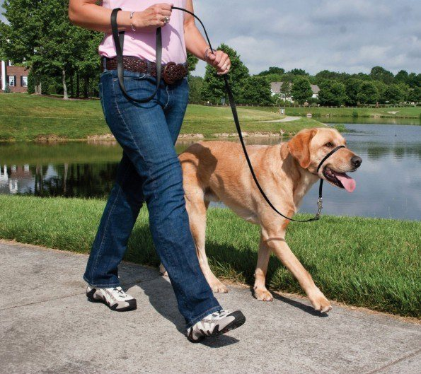 A labrador being walked with a gentle leader alongside a lake