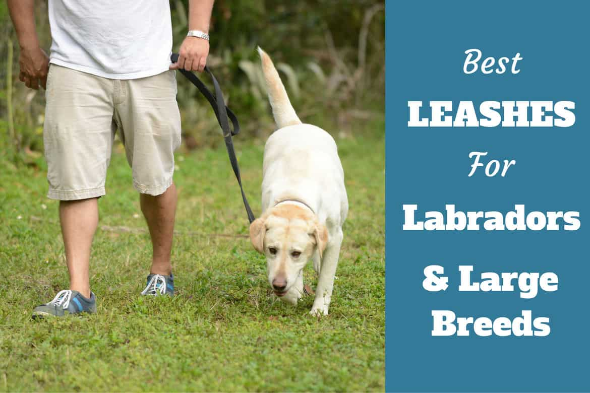 Best leashes for labradors and large breeds written beside a lab being walked on leash