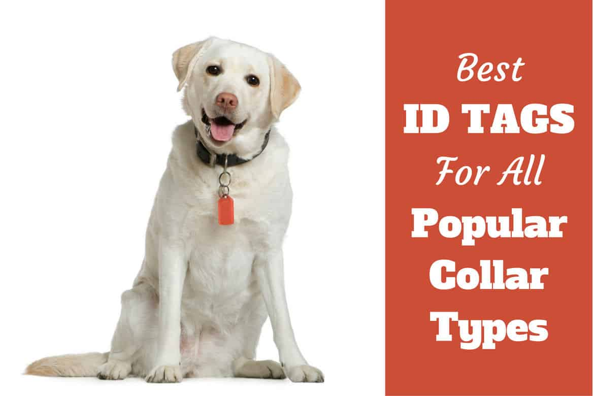 Best dog ID tags written beside a sitting yellow lab on white bg