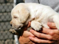 A Yellow Labrador puppy being held in a mans hands