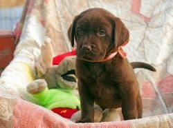A chocolate Labrador puppy standing in a box of toys