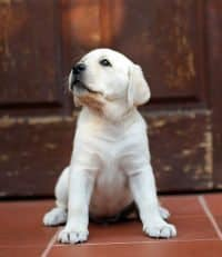 A Yellow Lab puppy sitting in front of a large wooden door
