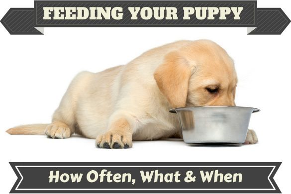 A Labrador puppy feeding from a metal bowl