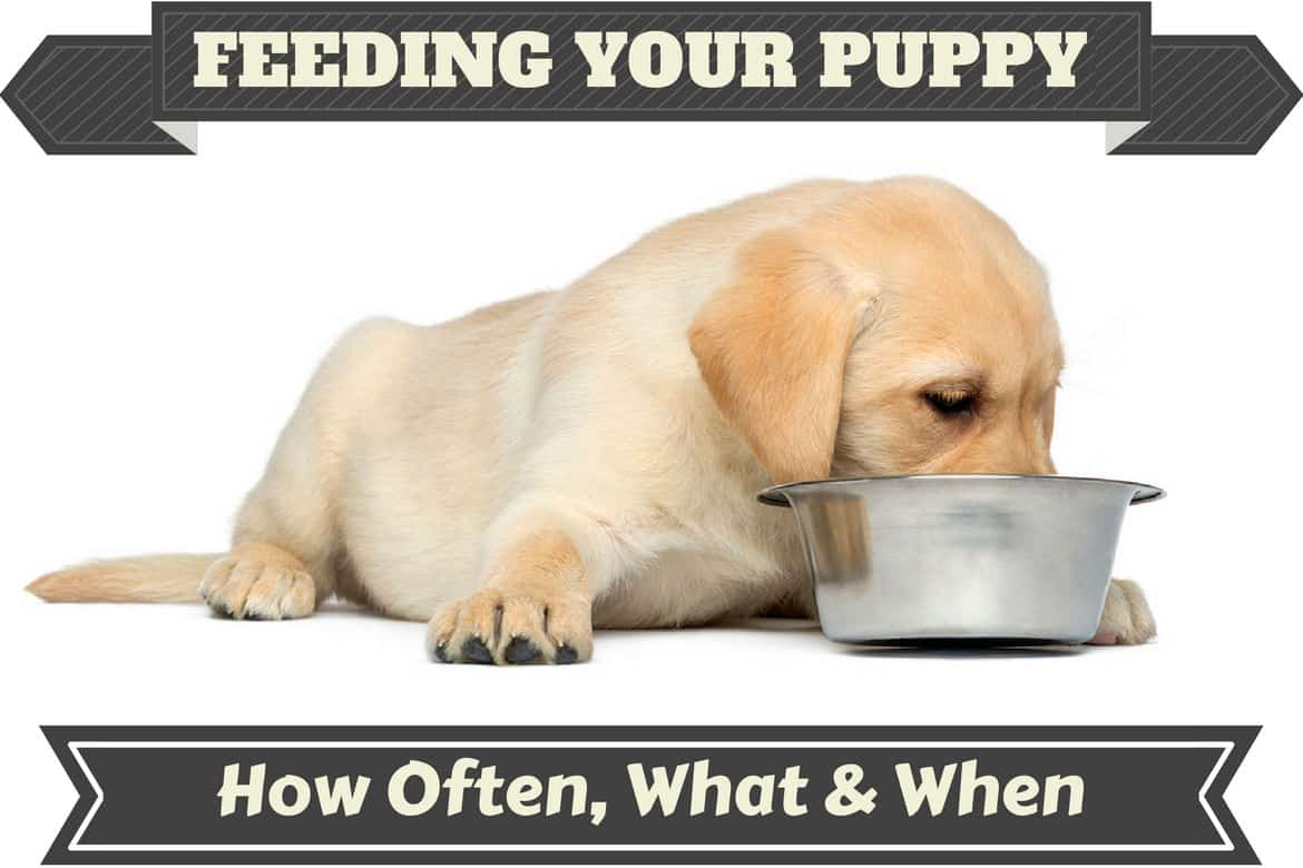 A Labrador Puppy Feeding From Metal Bowl
