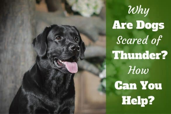 Why are dogs scared of thunder: portrait of black labrador