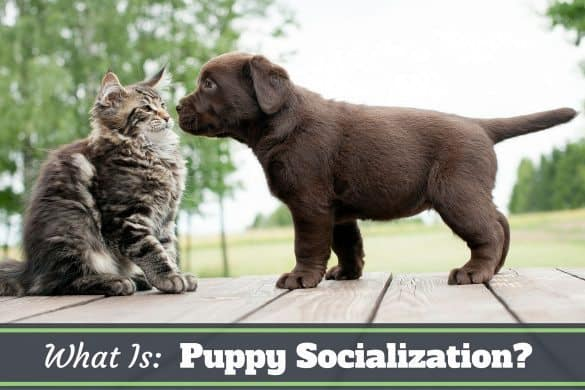 What is puppy socialization: First meeting with a kitten
