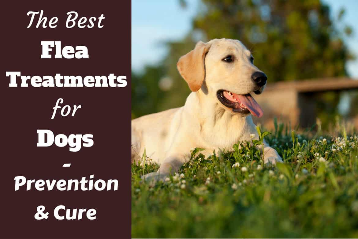 Best Flea Treatment For Dogs Written Beside A Lying Lab In Field
