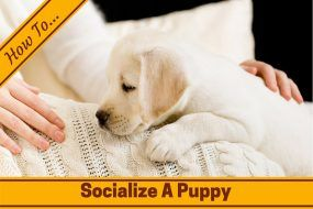 How to socialize a puppy written across a lab puppy on a white blanket on lady's lap
