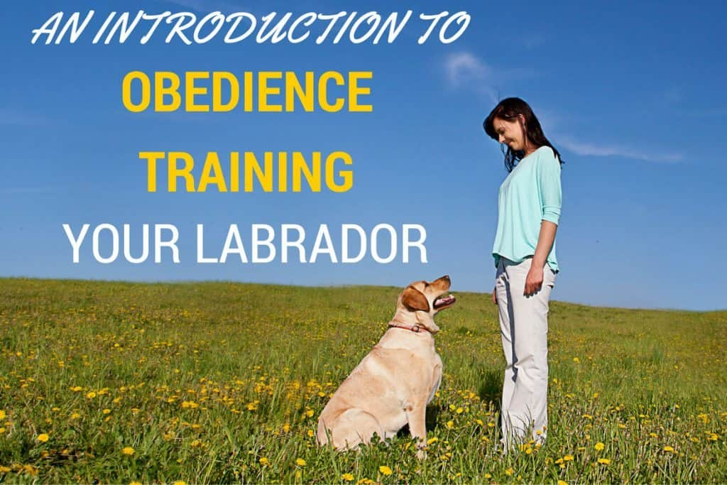 Labrador Obedience Training - An Introduction