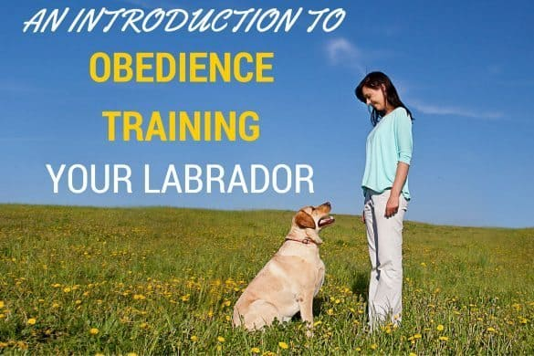 Obedience training your labrador written beside Lady in field training a yellow lab