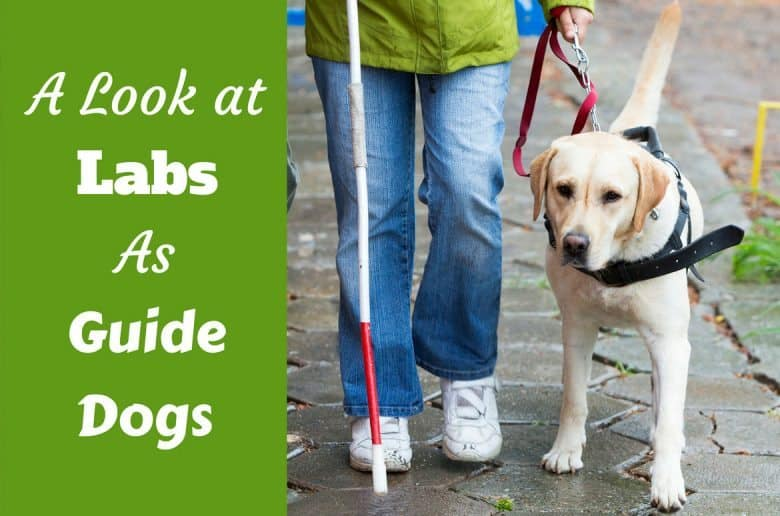 A Labrador guide dog leading her handler
