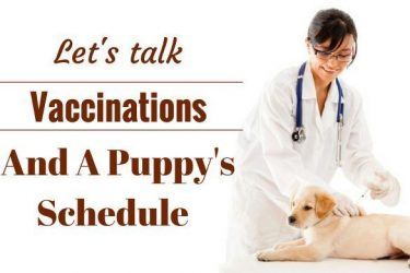 Vaccination schedule - A vet in white coat giving a lab puppy a shot