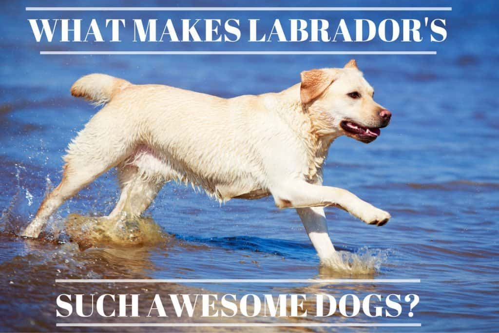 are labs good dogs  14 reasons why labradors are such awesome dogs