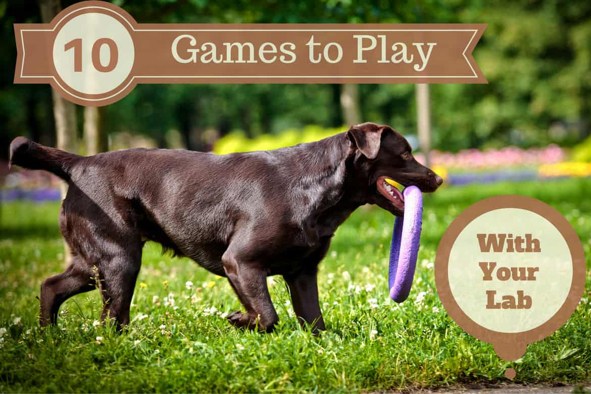Games to play with your lab written beside side view of a choc Lab carrying a purple frisbee