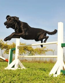 A black labrador jumping a fence during agility games