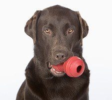 Chocolate lab with a red kong toy in mouth on white background