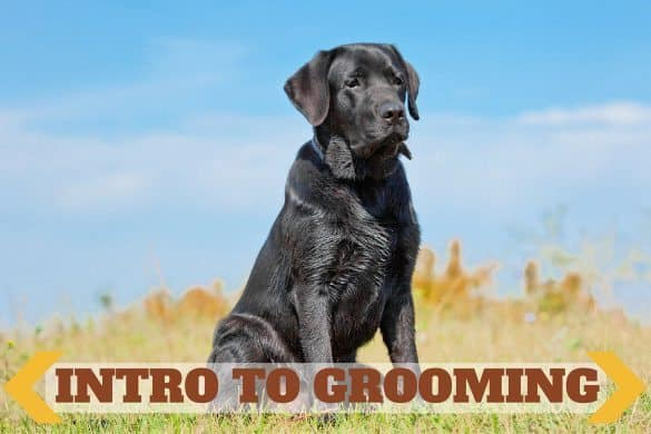 intro to grooming written across a black lab sitting up proud against a background of blue sky