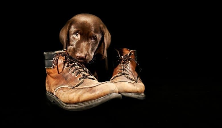 A chocolate labrador puppy chewing some old leather boots on a black background
