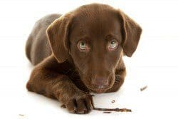 Chocolate lab puppy chewing stick on white background