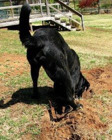 A black labrador in the middle of digging a trench in a garden