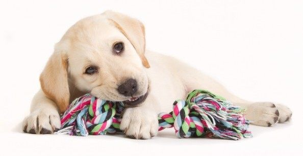Yeelow lab puppy chewing a multi-colored rope dog toy