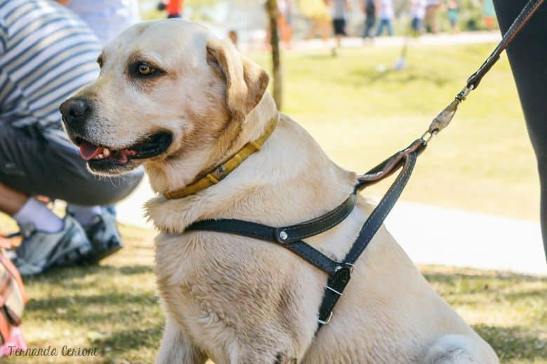 A labrador sitting patiently while wearing a harness