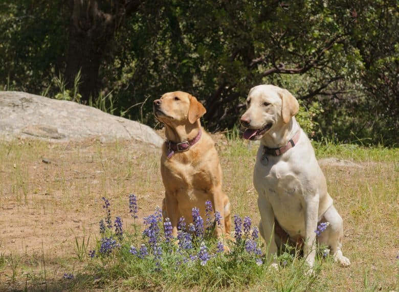 2 labradors sitting calmly in a meadow behind blue flowers