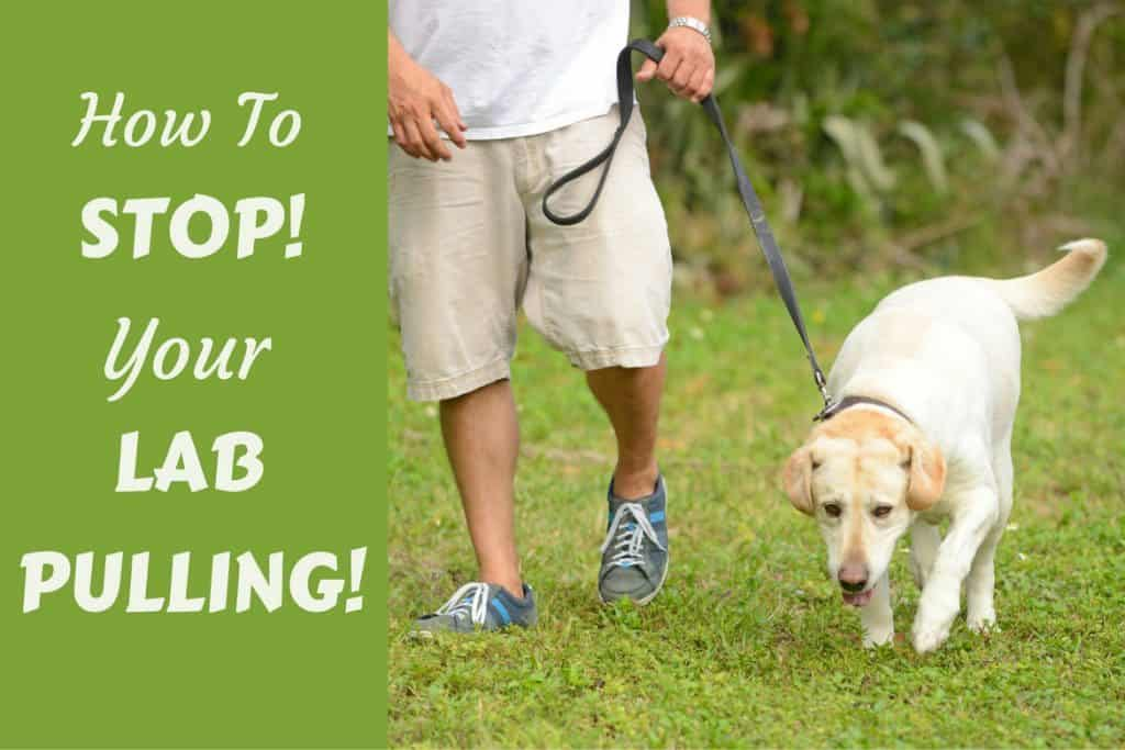 How To Train A Dog To Walk And Not Pull