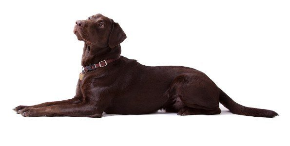 side view of a chocolate labrador laying straight on a white background
