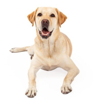 A yellow lab laying down looking into the camera looking very eager